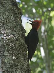 Carpintero Negro - Campephilus magellanicus (gerardo.carinao) Tags: regindelmaule cerro cerrolacampana armerillo chile 2016 aves fauna carpinteronegro campephilusmagellanicus pjarocarpintero