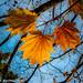 Autumn Yellow Trinity
