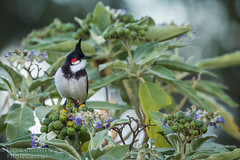 Red-whiskered Bulbul (Hank Christensen) Tags: asia avian eating natural wildlife outside food nature bird berries tamilnadu outdoor perched india ooty animals