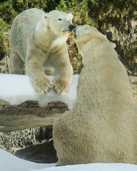 Sister and Brother in a Moment of Sweetness (Penny Hyde) Tags: bear polarbear sandiegozoo