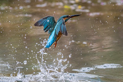 Kingfisher (Alcedo atthis) D50_3758.jpg (Mobile Lynn) Tags: people birds wild petewhieldon kingfisher nature aves bird chordata coraciiformes face faces fauna wildlife otterbourne england unitedkingdom gb coth specanimal coth5 ngc sunrays5 npc