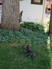 Percy v. Squirrel (andrea z) Tags: percy cat graycat squirrel tailtwitch
