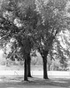 P-60-J-001 (neenahhistoricalsociety) Tags: constitutionelm trees elms althleticfield footballfields bleachers neenahhighschool shattuck