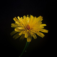 sunshine (PommieDad) Tags: australia yellow weed artistic nikon closeup sigma petals sun
