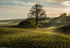 Undulating. (AlbOst) Tags: mistymorning frosty morninglight morningsun morningmist centralscotland trees undulations undulating newcrops newshoots