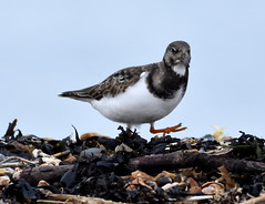 Quick march! (pstone646) Tags: bird nature wildlife seashore animal fauna whitstable kent turnstone wader