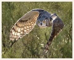Great Horned Owl (gauchocat) Tags: arizonasonoradesertmuseum tucsonarizona raptorfreeflight