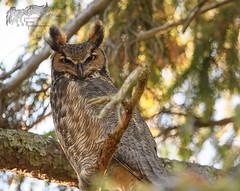 Great Horned Owl 11_29 (krisinct- Thanks for 12 Million views!) Tags: nikon d500 500 f4 vrg