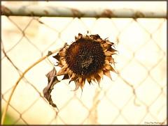 HFF (mayflower31) Tags: zaun fence sonnenblume sunflower verwelkt