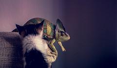 play time (tomi1302 www.tomiburcul.com) Tags: canon 650d t4i 50mm chameleon cat animals reptiles zadar croatia lizard