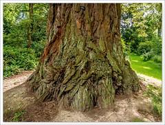 Young (EfwEE) Tags: 1240mm olympus wales em5 mzuiko coast redwood sequoia sempervirens powis castle garden
