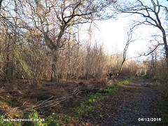 Mear's ride coppice completed 04/12/2016 (the_greenman) Tags: waresleywood gransdenwood wildlifetrust ancientwoodland hazel bluebells oxlips coppicemanagement thegreenman wwwwaresleywoodcouk conservation