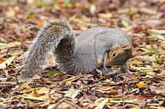 NO Im not ready not yet !!!!! (Bogger3.) Tags: greysquirrel venuspool canon600d tamron150x600lens autumn fallenleaves grooming bushytail coth coth5