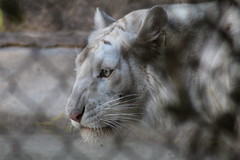 (Rae of Mad Photography) Tags: white tiger whitetiger tigress snarl growl blue eye eyes nature animal zoo animals snow beautiful graceful angry