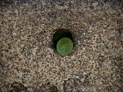 Asomada a la ventana (Luicabe) Tags: agujero airelibre cabello enazamorado exterior granito hierba luicabe luis musgo naturaleza planta textura yarat1 zamora zoom ngc
