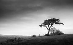On the Fence (Sarah_Brooks) Tags: mono monochrome bw bwn tree lonetree pine windswept fence somerset