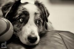 Keep an eye on Mom (Jasper's Human) Tags: australianshepherd aussie chuckit ball paranoid