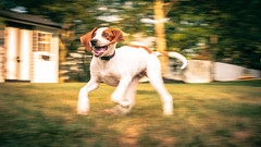 Pure Happiness (JimmyKastner) Tags: morganville kastnerresidence hudsonkastner northamerica dog newjersey animals unitedstates action monmouthcounty summer home monmouth oldhouse usa