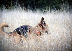 Scampering through the Grass (MrPuffy) Tags: germanshepherd dog outdoors grass running