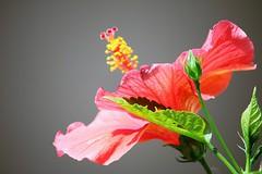 Happy December :) (Amirtha :)) Tags: hibiscus single petal bud iful