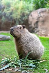 capybara7547awf (marzipan bunny) Tags: 16 2016 tucson arizona capybara november reidparkzoo zoo zooanimals zoophotograaphy