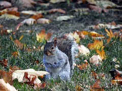 Gray Squirrel in Autumn (--Anne--) Tags: nature animals wildlife gray squirrel autumn fall leaves