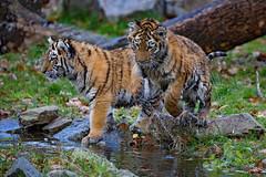 kleiner Hpfer 1 (Mel.Rick) Tags: zooduisburg tigercub tiger tigerbaby makar arila sibirischertiger sugetiere tiere raubtiere raubkatzen