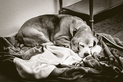 329 365+1 2016 Roscoe Dogg at Thanksgiving (Kris McNeil) Tags: 2016 366 3651 365 blackandwhite dog blanket cozy old beagle sleeping