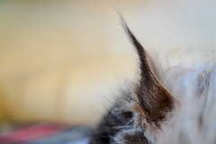 Miles (KPPG) Tags: schärfentiefe tier katze haustier ohr ear pet cat animal samsungnx nx3000