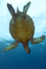 IMG_0124 copy (Aaron Lynton) Tags: spanish dancer snorkel scooter maui hawii hawaii canon g1x spanishdancer turtle honu tako octopus ocean animals papio yellowspotpapio starfish