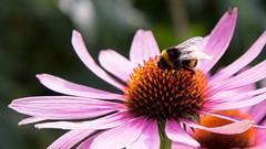 Echinacea met hommel (-Ebelien-) Tags: ebelien 2016 bloem flower echinacea rodezonnehoed roze pink hommel bug