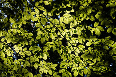 Shades of a summer left behind (Anthony Plancherel) Tags: ashridgeforest category england flora hertfordshire places travel unitedkingdom uk british britain greatbritain english travelphotography canon canon70d canon1585mm leaf leaves canopy glow summer seasonal branch branches twigs trees outdoor woodland woods forest green greenery natural nature