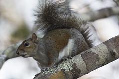 Eastern Gray Squirrel (DFChurch) Tags: sixmile cypress slough eastern gray squirrel nature animal wild wildlife swamp fortmyers florida fl sciuruscarolinensis