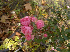 2016-10-25-7286 (vale 83) Tags: little roses nokia n8 friends macrodreams lunaphoto coloursplosion colourartaward autofocus flickrcolour