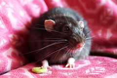Willi (Rattenmann) (annaisallears) Tags: nager nagetier pattern rosa struktur ratte haustier muster tier ros farbratte hausratte