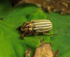 Tenlined June beetle (YuccaYellow) Tags: life california ca wild macro june bug insect nikon san flash diego sharp beatle tamron r1c1 d7000 tenlines