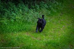 'Senna' (Diverse-Media.nl) Tags: dog pet pets green nature grass animal animals happy groen natuur schnauzer running gras rennen doggie senna vrolijk dmani lingebos