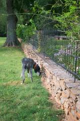 34/52 flowers?  what flowers? (huckleberryblue) Tags: summer dog green gracie hound scents sights bluetickcoonhound week34 52weeksfordogs