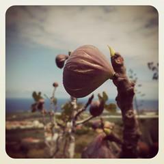 Higos... la madre naturaleza siempre sorprende por su espontaneidad!!!! #Vendimia2015
