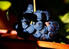 Las uvas del querer (Jesus_l) Tags: espaa europa valladolid uvas riberadeduero jesusl