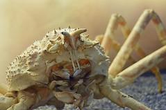 Una de centollo (pepid57) Tags: macro animales oceano nikond3200 crustaceos