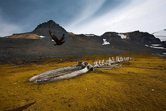 Whale Skeleton and Skua bird. Admiralty Bay, Antarctica 2006