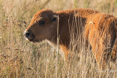 October 10, 2015 - A Bison calf at the Rocky Mountain Arsenal. (Tony's Takes)