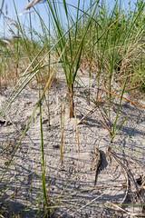 Lacerta agilis (nerdmeister) Tags: beach female strand sand europe reptile dune balticsea ostsee usedom lacertaagilis ammophila zauneidechse strandhafer