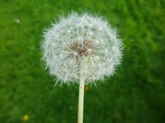 FB_IMG_1445158339321 (Nicolaspeakssometimes) Tags: nature dandelion wishing