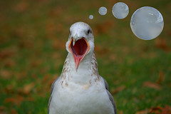 Squawk Thoughts (swong95765) Tags: bird mouth caw thought open cloudy bokeh seagull gull beak puff bubbles headshot communication thoughts smokey openmouth yelling frontal lari screech frontview facing birdbrain laridae squawking