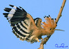 hoopoe (TARIQ HAMEED SULEMANI) Tags: travel summer tourism nature colors birds trekking canon culture sensational tariq hoopoe supershot concordians sulemani tariqhameedsulemani jahanian
