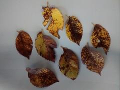 Leaves U. Minor?? ACH15 (2015 Plant Records Photos) Tags: ulmus d11 lateoct ach15