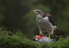 Northern goshawk with snack (Artefax (slowly catching up)) Tags: bird eating pigeon killed prey northern duif goshawk havik accipiter gentilis