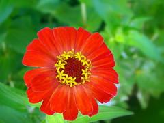 Zinnia elegans (R_Ivanova) Tags: red summer plant flower color macro green nature colors garden sony zinnia природа zinniaelegans цветя циния rivanova риванова